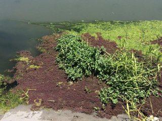 alghe canale policoro